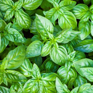 Citrus Basil Fragrance Oil