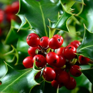 Red Berry & Holly Fragrance Oil