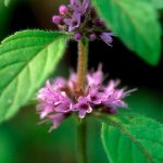 Wild Mint Fragrance Oil