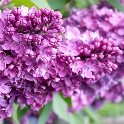 Lilac Fragrance Oil