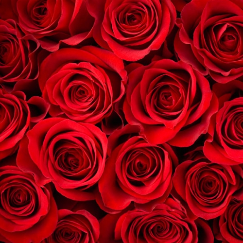 Red Roses Fragrance Oil