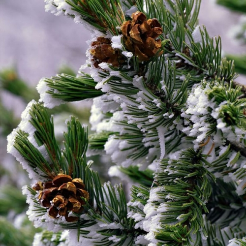Winter Pine Fragrance Oil